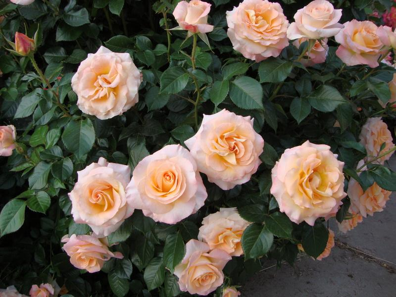 Photo of Rose (Rosa 'Day Breaker') uploaded by Paul2032