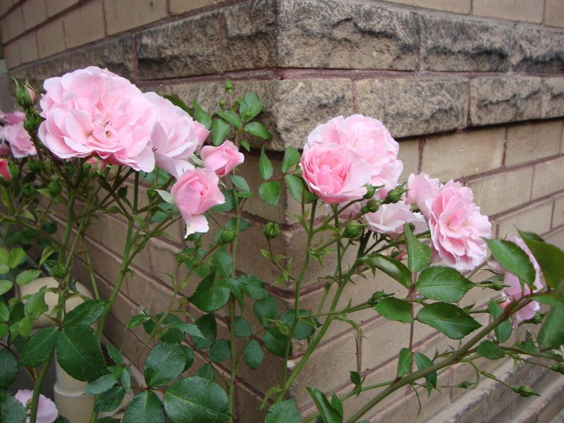 Photo of Rose (Rosa 'Bonica') uploaded by Paul2032