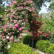Location: Pleasant Grove, UtahDate: 2009-06-12Rose Arbor