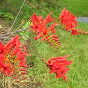 Location: Sun garden Pittsford NYDate: 2009-07-31Spectacular color is very intense.This plant is 4 feet tall here.