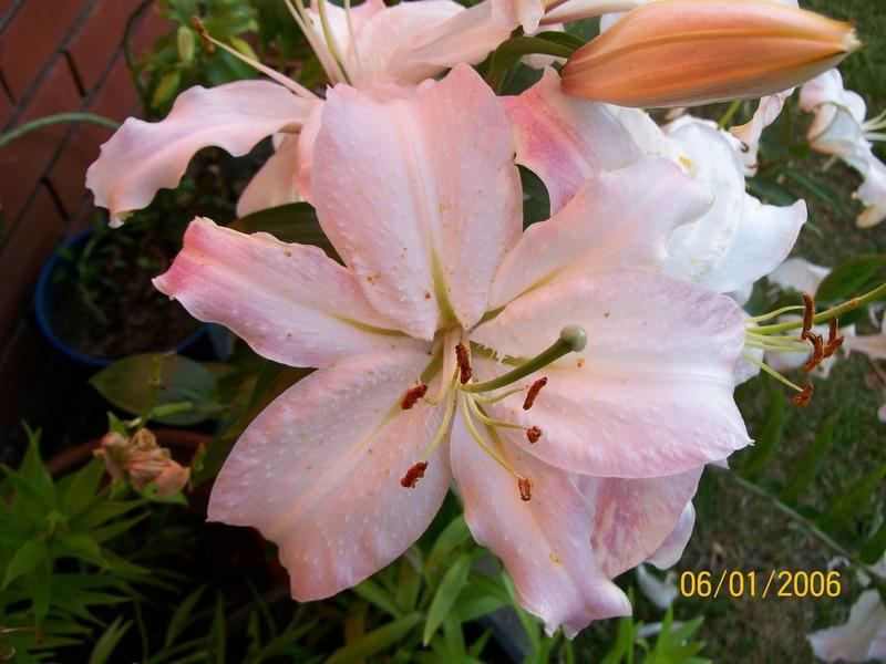 Photo of Lilies (Lilium) uploaded by gwhizz
