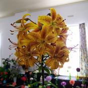 Location: Claremont Lilium Show- TasmaniaDate: jan 2010jasmins entry