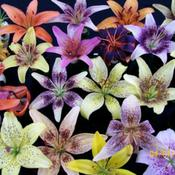 Location: Claremont lilium show-TasmaniaDate: Jan 2011Tango assortment