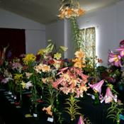 Location: Claremont Lilium Show-TasmaniaDate: Jan 2011Show Stems