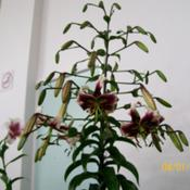 Location: Claremont Lilium Show-TasmaniaDate: Jan -2010A beauty