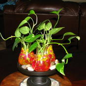 Location: Indoors - Tracy, CADate: 2011-06-07Growing pothos using water gels