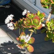 Location: In our garden - Tracy, CADate: 25 Feb 2011My first time to see our jade plant with flowers