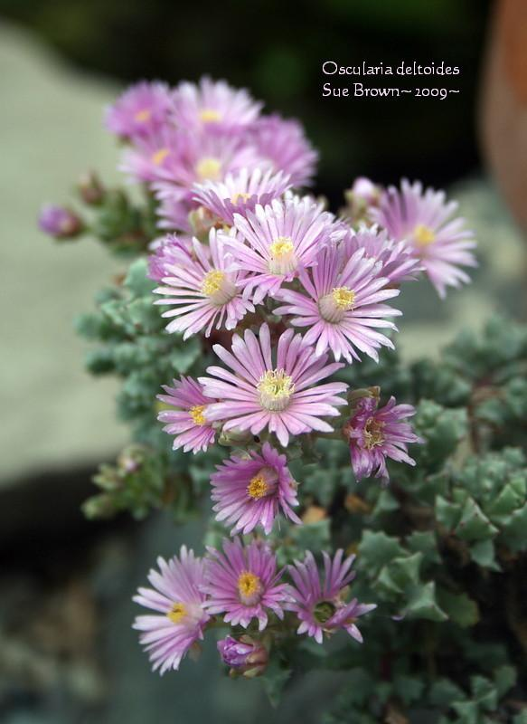 Photo of Oscularia deltoides uploaded by Calif_Sue