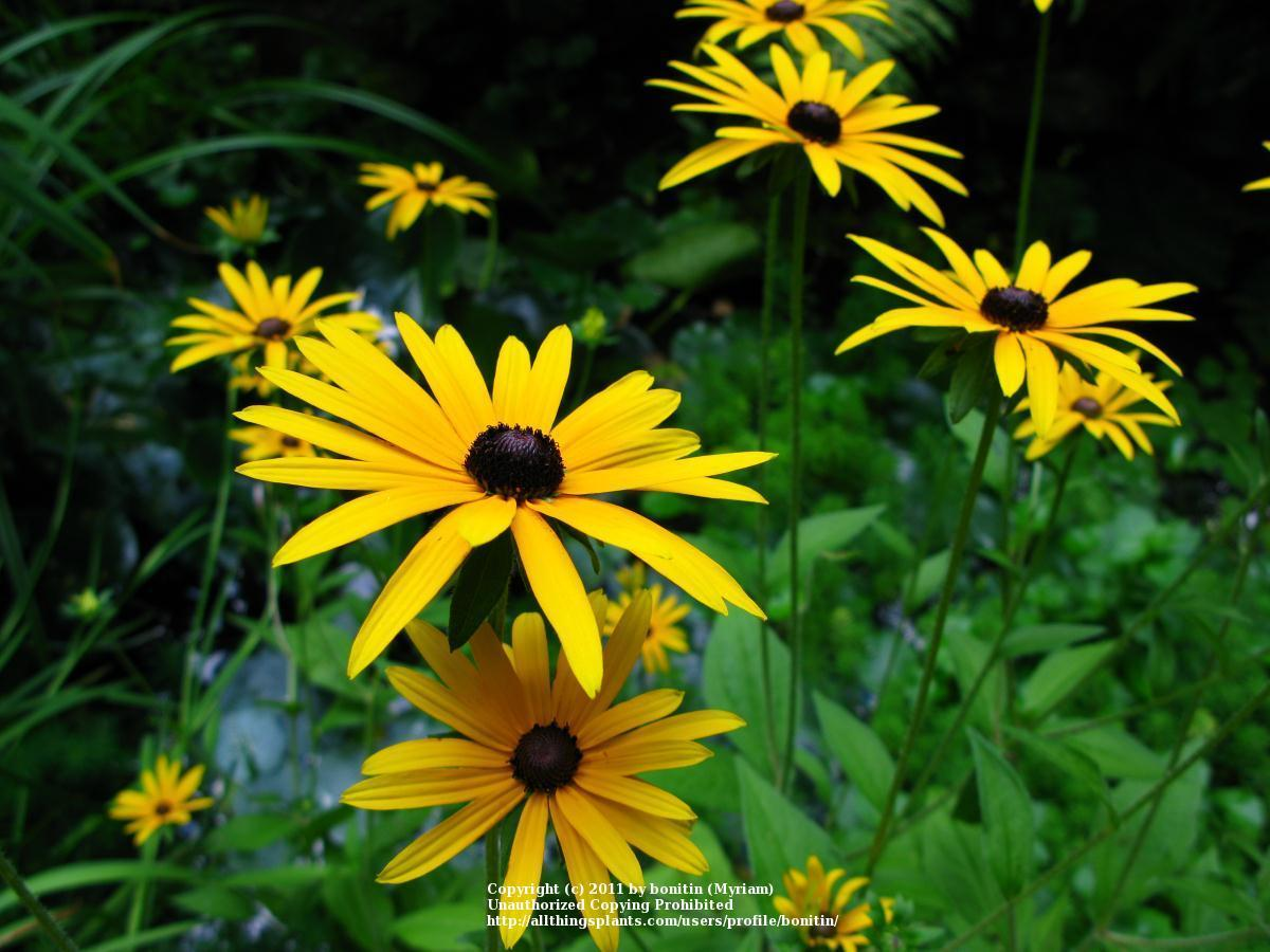 Photo of Black Eyed Susans (Rudbeckia) uploaded by bonitin