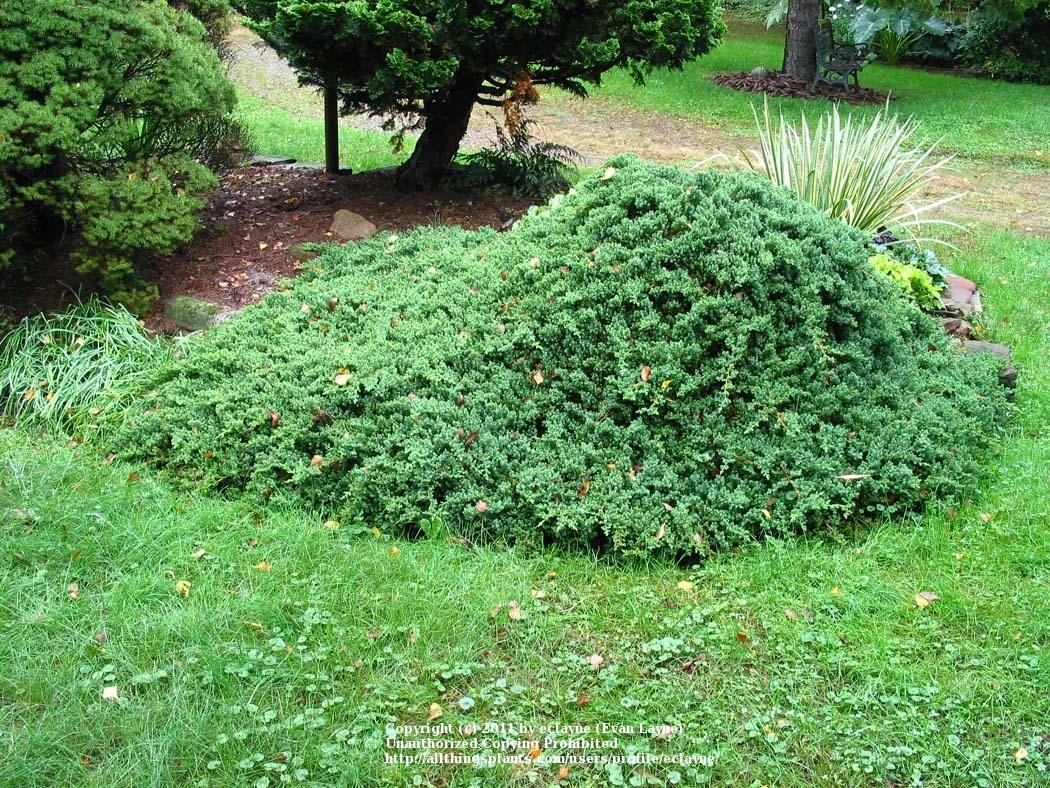 Photo Of The Entire Plant Of Dwarf Japanese Garden Juniper Juniperus Procumbens Posted By