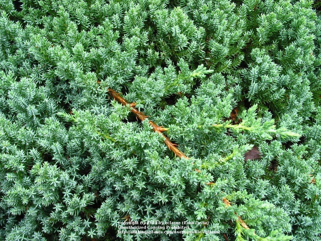 Photo Of The Leaves Of Dwarf Japanese Garden Juniper Juniperus Procumbens Posted By Eclayne