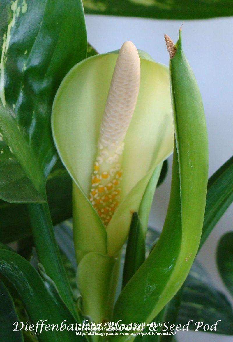 Photo of Dumbcane (Dieffenbachia seguine 'Tropic Snow') uploaded by mcash70