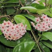 Location: Daytona Beach, FloridaDate: October 15, 2011This is a plant that with age has converted from variegated to so