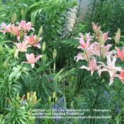 Location: Illinois United StatesDate: 2011-06-21Asiatic Lily 'Aphrodite'