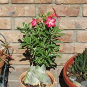 Location: At our garden - Tracy, CADate: Summertime 2010Desert Rose in bloom