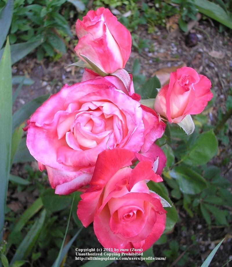 Photo of Rose (Rosa 'Brigadoon') uploaded by zuzu
