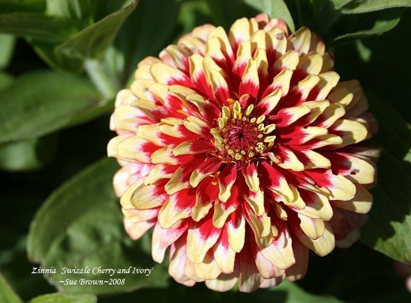 Photo of Zinnia 'Swizzle Cherry and Ivory' uploaded by Calif_Sue