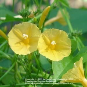 Trumpet morning glory ipomoea hederifolia in the morning glories image mightylinksfo
