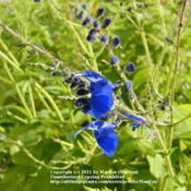Location: My garden in Northern KYDate: 2011-10-28Gorgeous blue color!