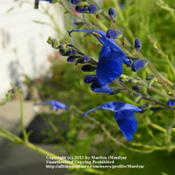 Location: My garden in Northern KYDate: 2011-10-28Gorgeous blue color!  Love it!   Hummers love it also!