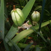 Location: Pleasant Grove, UtahDate: 2011-07-12Bearded Iris Seed Pods