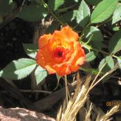 Location: Denver CO MetroDate: 8/10/2010Wonderful rose, grows like a champ.  This year it's abo