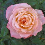Location: Denver CO MetroDate: 7/1/2010Fades quickly.. the rose is actually more orange than t