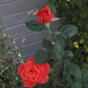 Location: Denver CO MetroDate: 10/16/2010Very tall rose, this one is about 4ft tall.  Not leggy