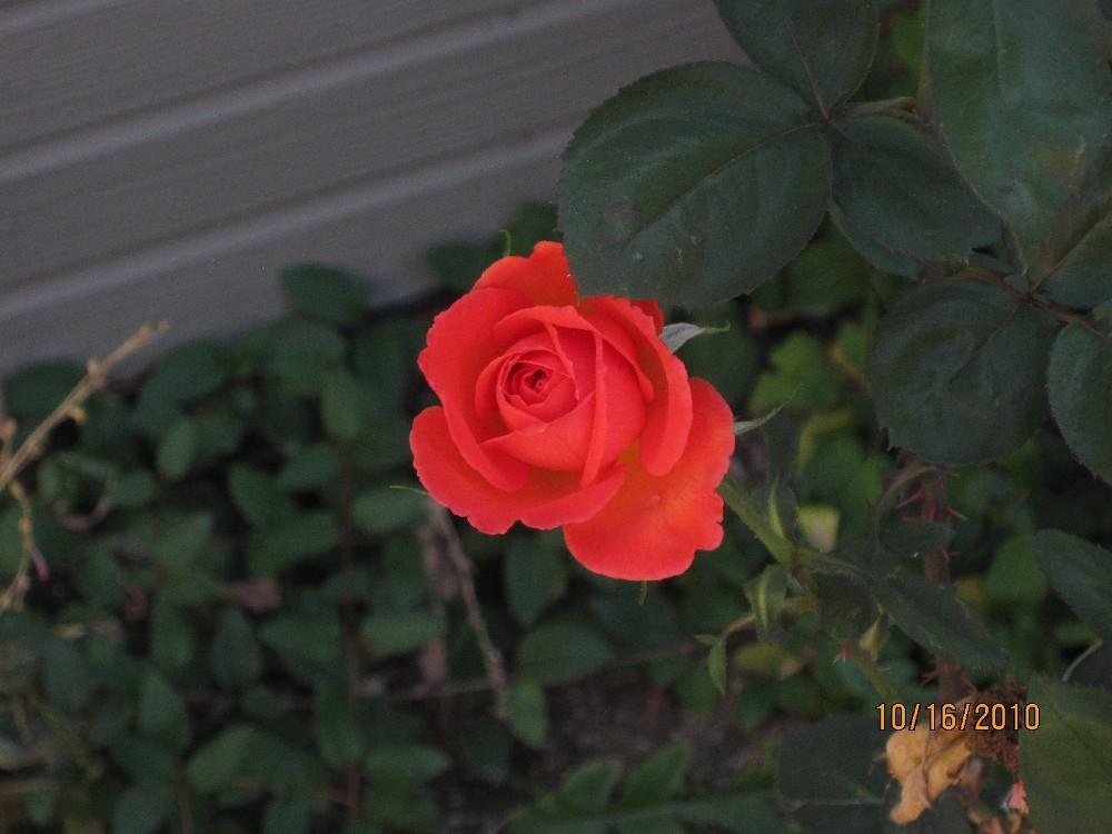 Photo of Rose (Rosa 'Wildfire') uploaded by Skiekitty