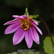 Location: my garden, Gent, BelgiumDate: 2011-08-10wild specie Dahlia, thank you Janet! :)