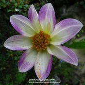 Location: my garden, Gent, BelgiumDate: 2009-07-12wild specie Dahlia, thank you Janet! :)