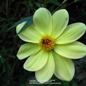 Location: my garden, Gent, BelgiumDate: 2009-06-18wild specie Dahlia, thank you Janet! :)