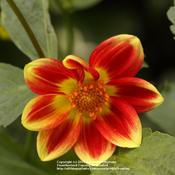 Location: my garden, Gent, BelgiumDate: 2010-06-30wild specie Dahlia, thank you Janet! :)