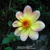 Date: 2009-07-04wild specie Dahlia, thank you Janet! :)