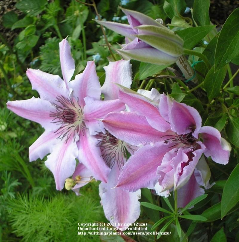 Photo of Clematis (Clematis 'Nelly Moser') uploaded by zuzu