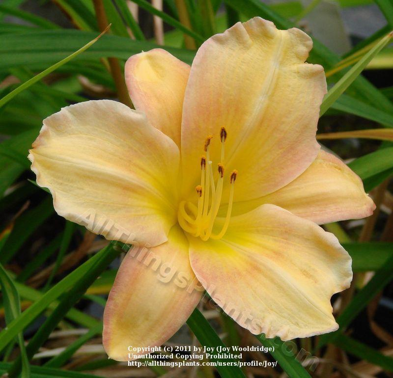 Photo of Daylily (Hemerocallis 'Fruit Loops') uploaded by Joy