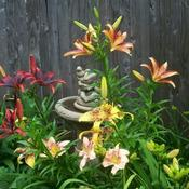 Lilies around bird bath.