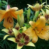 Trumpet and asiatic lilies.