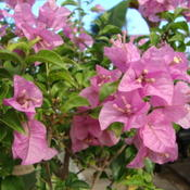 Location: At a Utah NurseryDate: 2011-10-19Bougainvillea Bambino