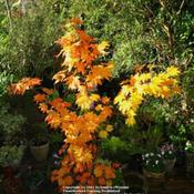 Location: my garden, Gent, BelgiumDate: 2009-10-25young tree