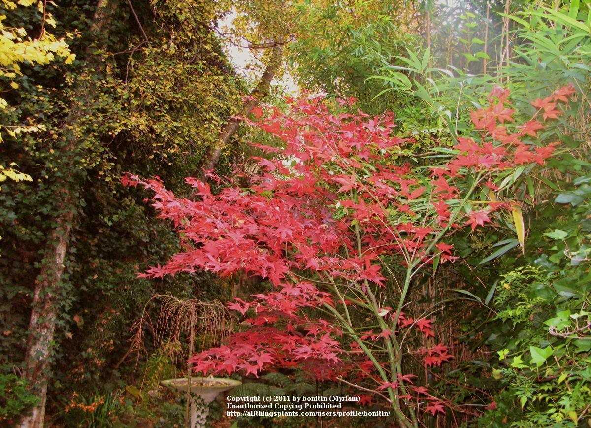 Photo of the entire plant of Japanese Maple (Acer palmatum ...