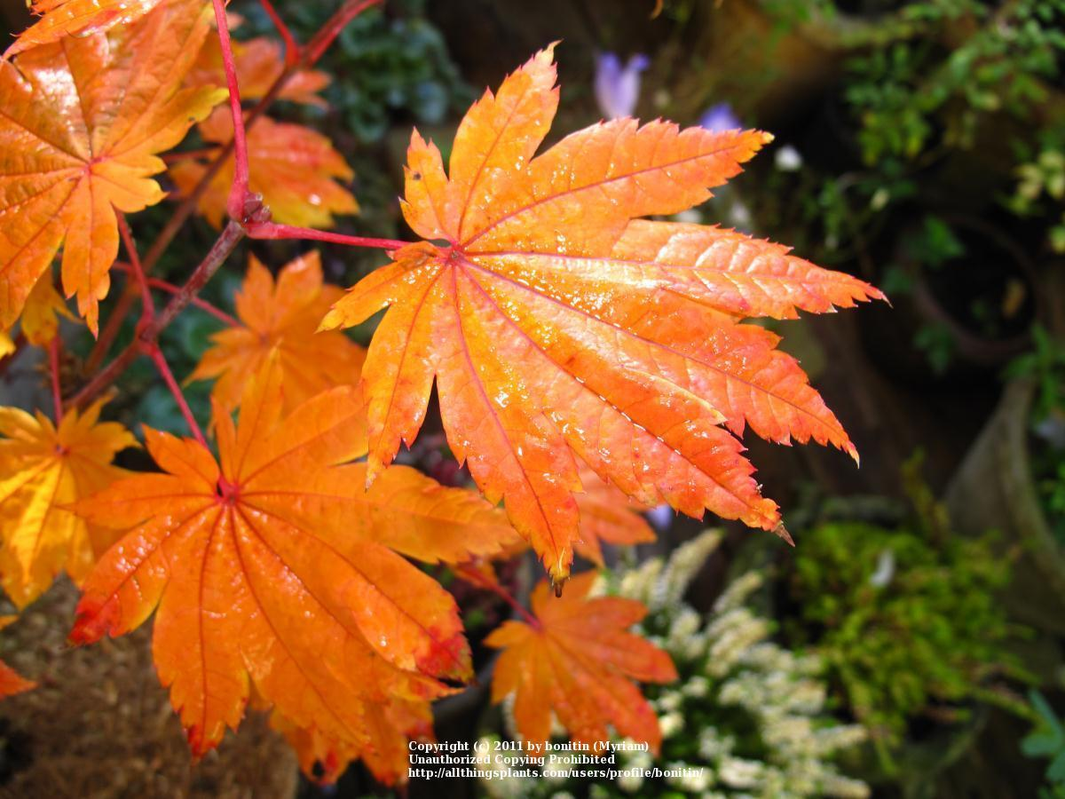 Photo of Full Moon Maple (Acer japonicum 'Vitifolium') uploaded by bonitin