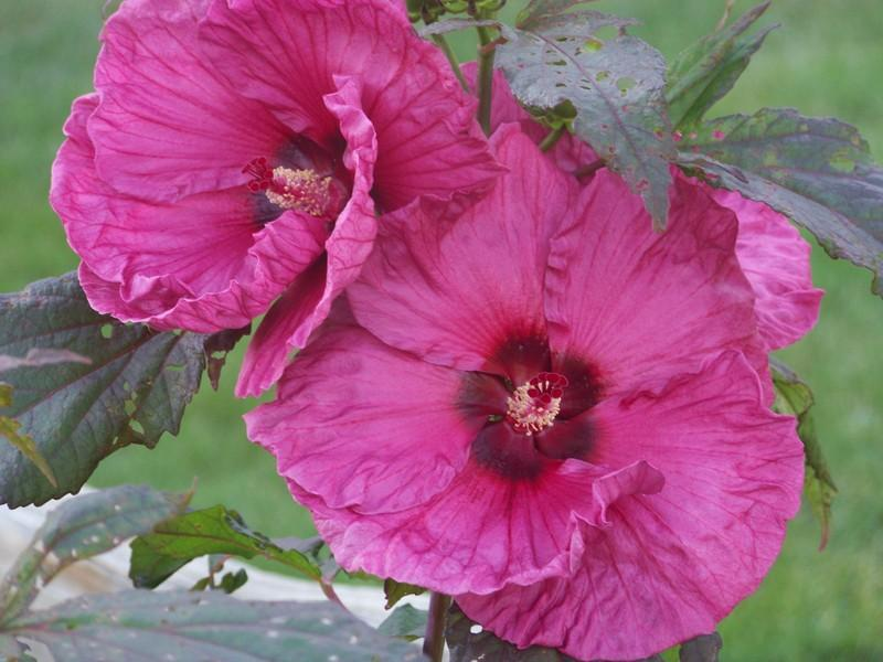 Photo of Rose Mallow (Hibiscus moscheutos 'Plum Crazy') uploaded by mattsmom