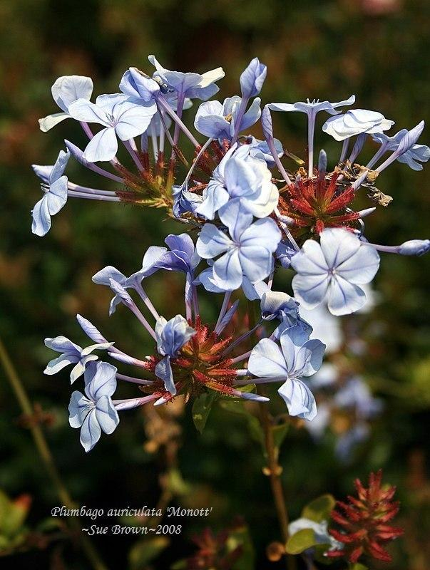 Photo of Cape Leadwort (Plumbago auriculata Royal Cape®) uploaded by Calif_Sue