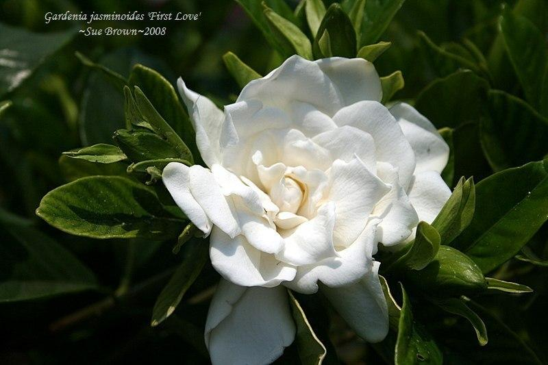 Gardenias plant care and collection of varieties garden add or edit informational text about this plant mightylinksfo