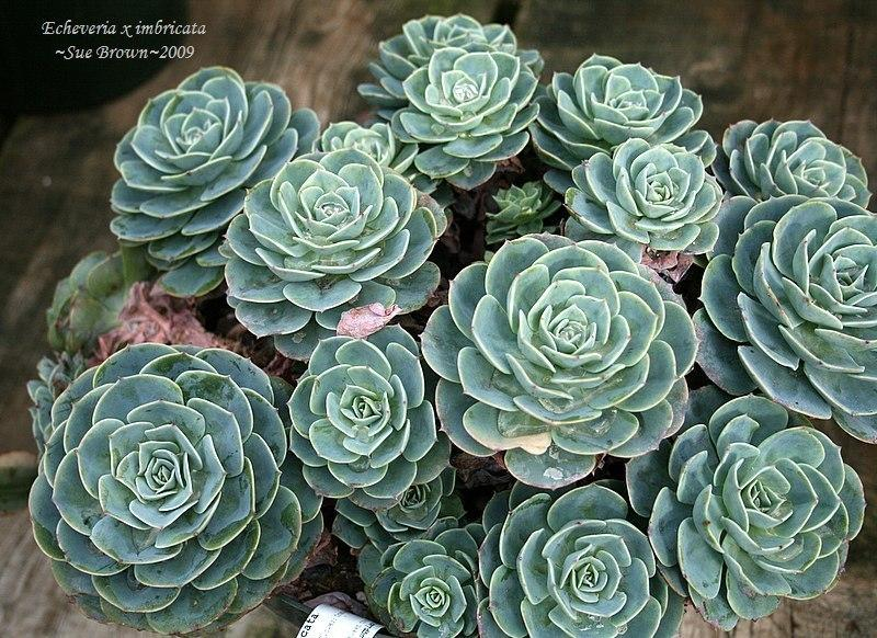 Photo of Echeveria 'Imbricata' uploaded by Calif_Sue