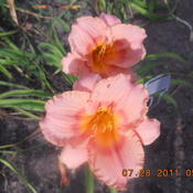 Location: gladwin michiganDate: 2011-07-28blooms well .