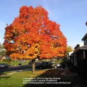 Location: Cincinnati, OhioDate: October 2009Sugar maple fall color