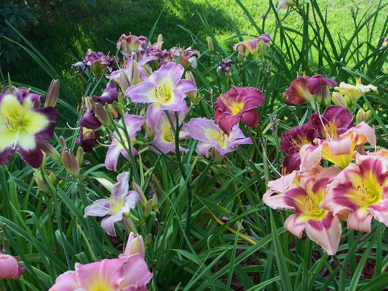 Photo of Daylilies (Hemerocallis) uploaded by mattsmom