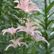 Location: IllinoisDate: 2011-07-13Cramer's Pink Pollenless Lily